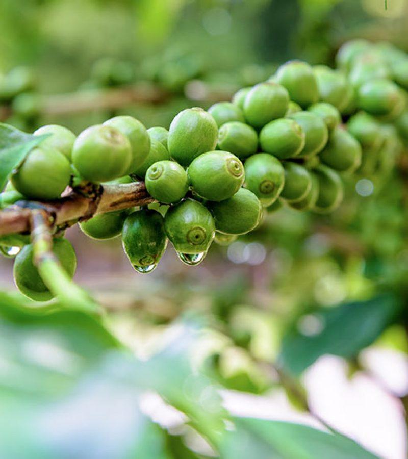 kawa na krzewie